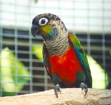 crimsonbelliedconure