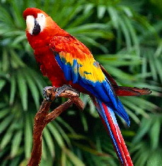 http://www.tjorvar.is/assets/images/autogen/a_macaw1.jpg