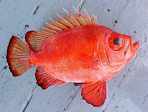 Question fish id for Big eye squirrel fish
